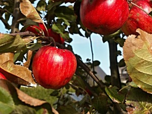 apple-tree-184373_1280